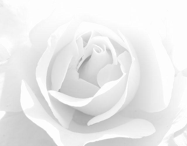trandafir-alb